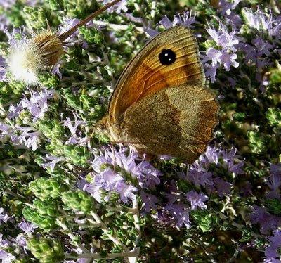 Πεταλούδα στο θυμάρι