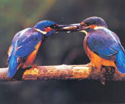 Αλκυόνες πουλιά