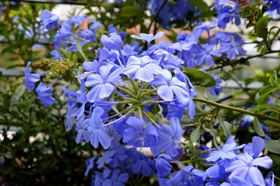 Μπλε πλουμπάγκο